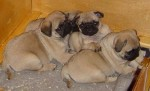 vier pups van het A-nest